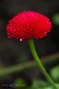 Red-Bellis